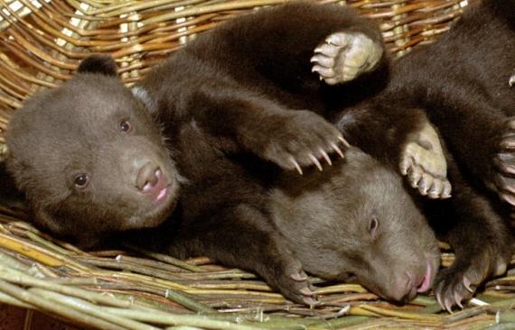Двух новорожденных медвежат подкинули в приют диких животных
