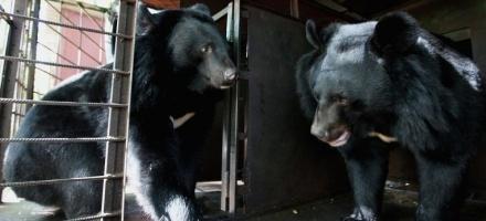 """Два гималайских медведя едут из Уссурийска в центр """"Велес"""" в Рапполово"""
