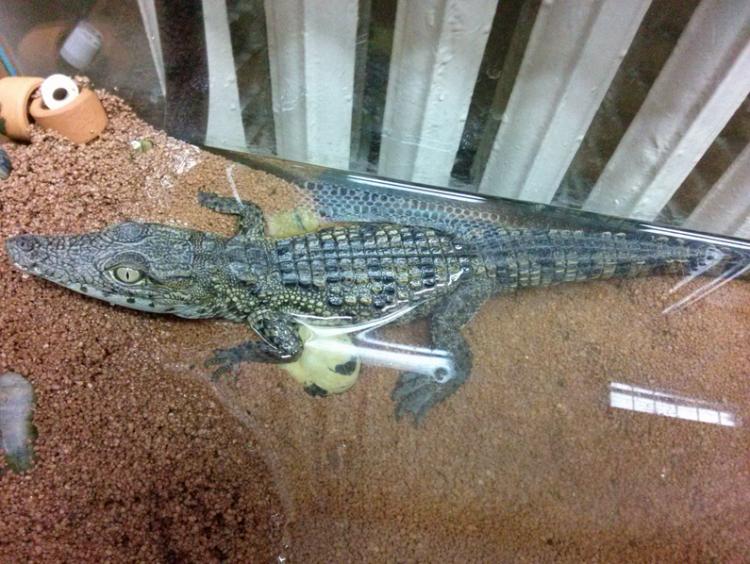 Центр диких животных «Велес» в деревне Рапполово готов забрать найденного в Петербурге крокодила