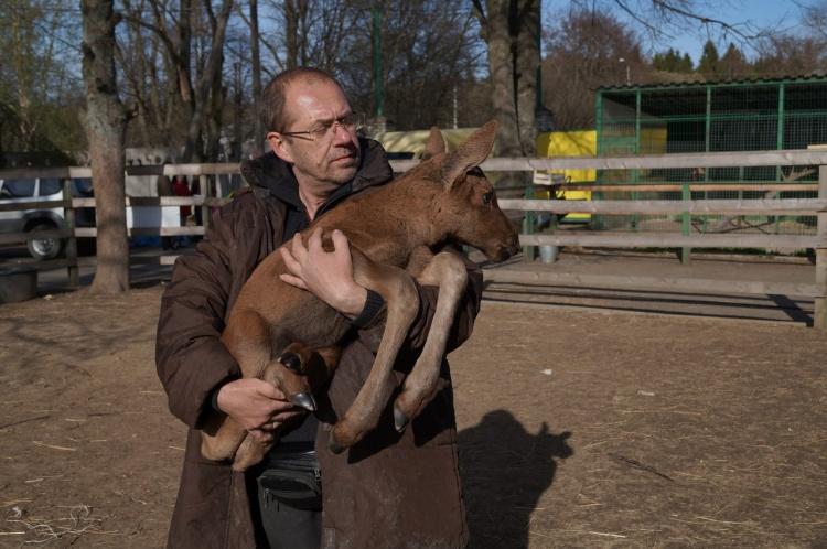 В карантинный центр диких животных в Рапполово передали новорожденного лосёнка