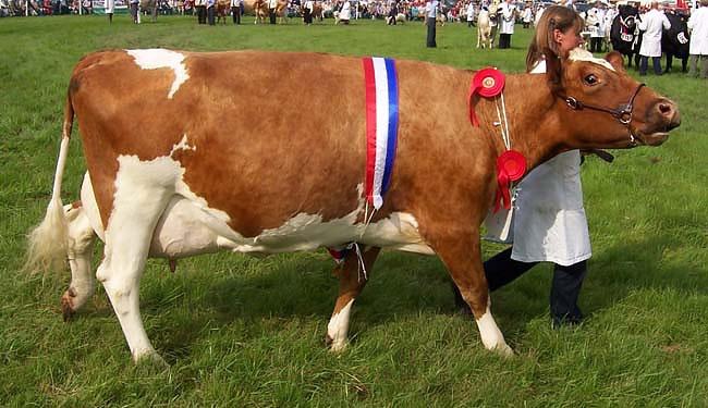 Восемь десятков голов скота выставят на продажу в Энколово