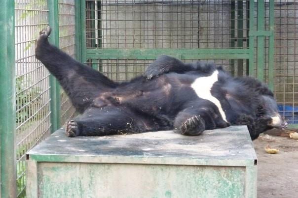 Сбежавший от зоозащитников в Ленобласти медведь пойман