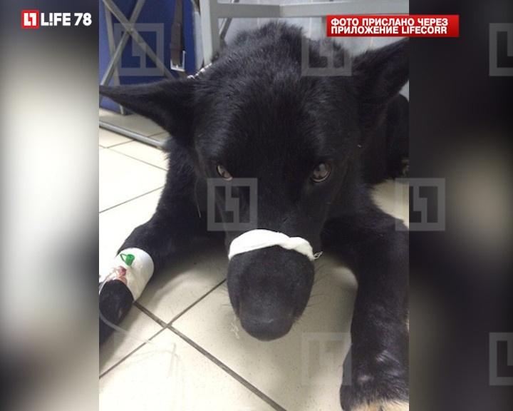 Зоозащитники написали заявление в полицию по факту расстрела пса Черныша