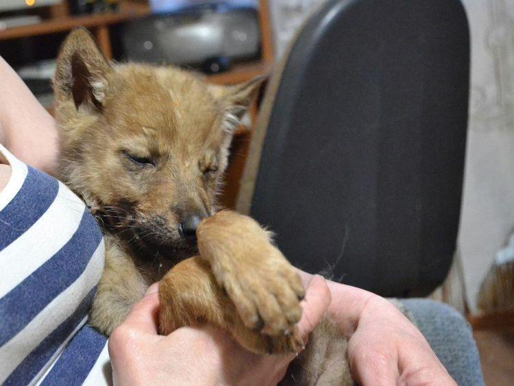 Волчонок, подобранный мурманчанами на трассе, обустраивается в центре помощи диким зверям