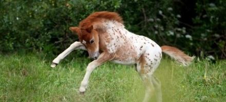 Во Всеволожском районе разводят удивительных животных - американских миниатюрных лошадей. Фото: mini-pony.ru