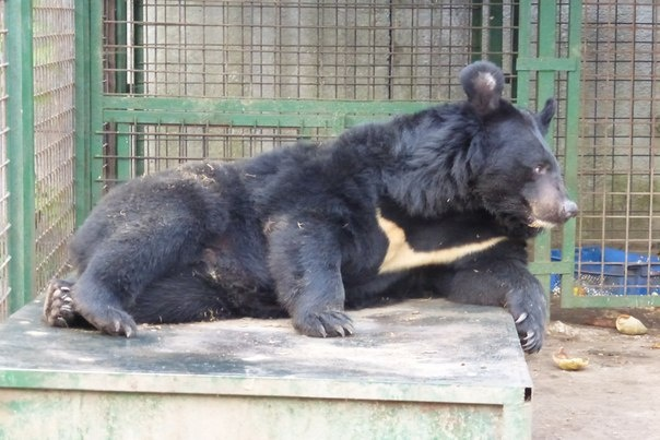 Во Всеволожском районе продолжаются поиски сбежавшего медведя