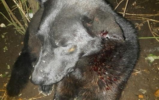 Во Всеволожском районе устроили стрельбу по собакам