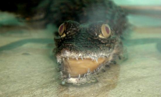 Директор ветеринарного центра: крокодил Гена Гражданский сильно вырос и на всех охотится