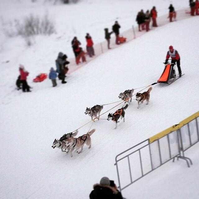 Ездовые собаки соревнуются в Токсово - видео с высоты в сто метров