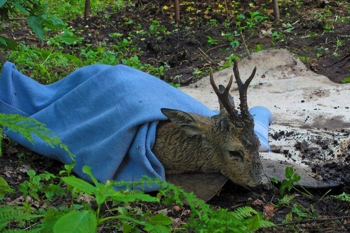 В Токсово из затопленной канавы вытащили маленькую косулю