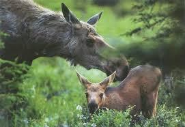 В лесу под Разметелево погибла молодая лосиха