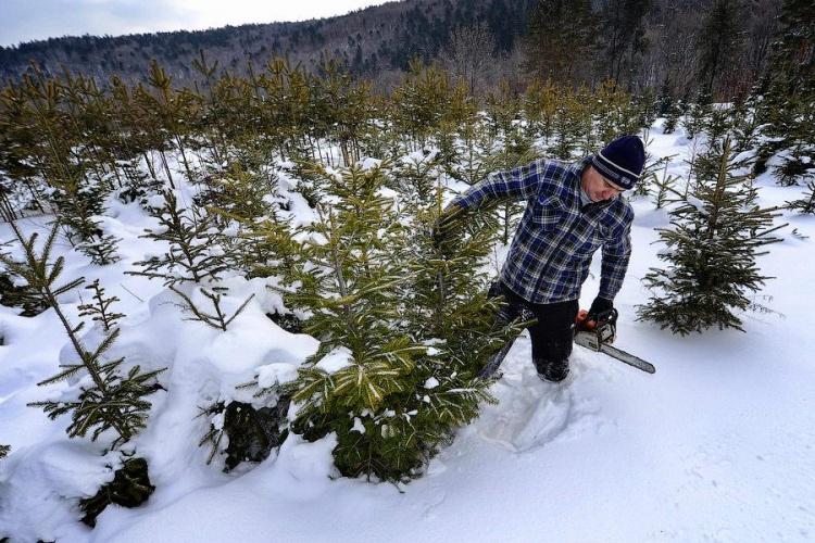 Жители Ленобласти смогут срубить елку на Новый год бесплатно