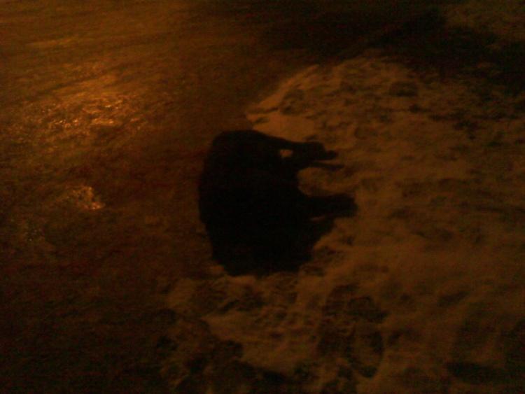 В Токсово на глазах детей застрелили дворовую собаку