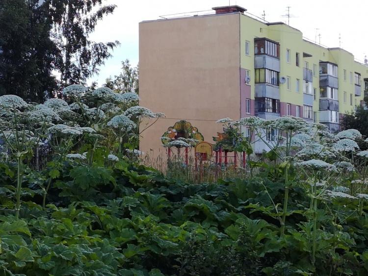 Жители Бугров жалуются на заросли борщевика около детской площадки