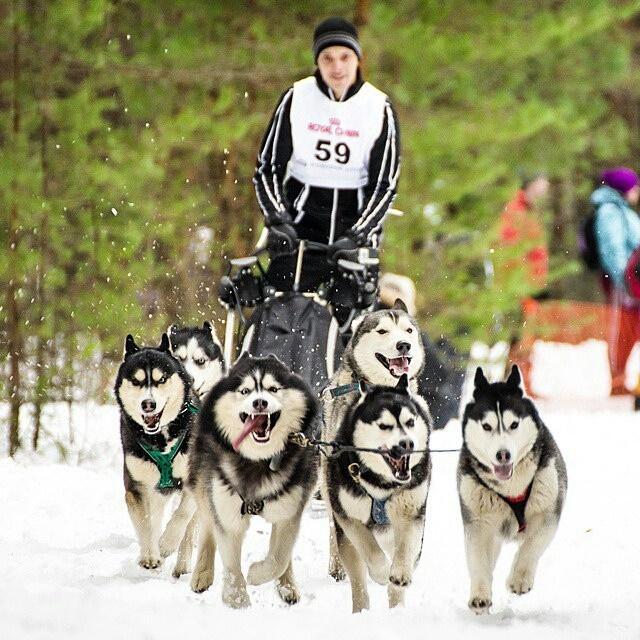 В выходные в Токсове пройдут большие гонки на собачьих упряжках