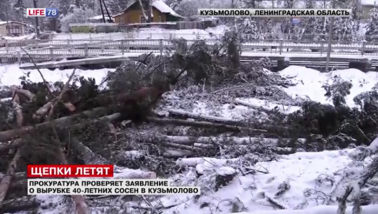 Рабочие вырубили 40-летние сосны в Кузьмолово