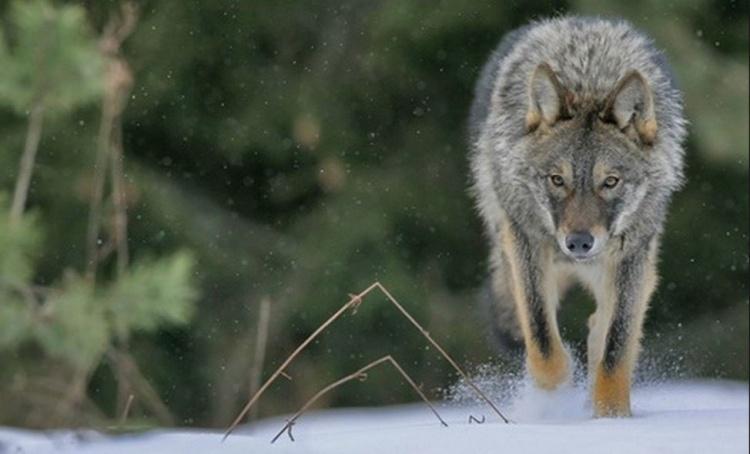 Под Всеволожском видели двух волков