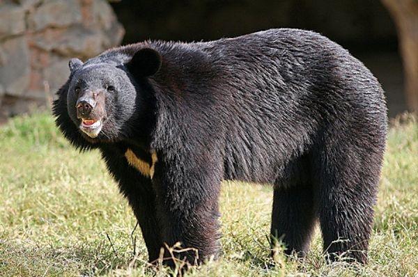 В Буграх из питомника сбежал напуганный и больной гималайский медведь Миша
