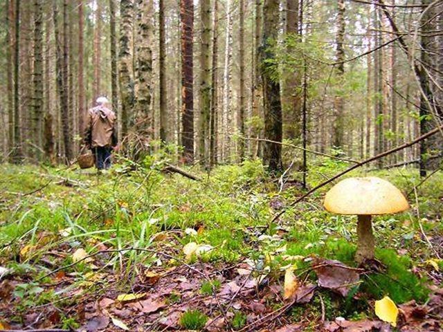 С начала лета спасатели Ленобласти вывели из леса больше 200 грибников