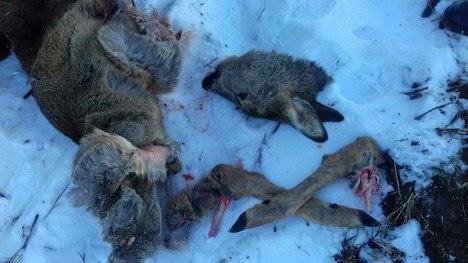 В Рапполово браконьер убил косулю с детенышами