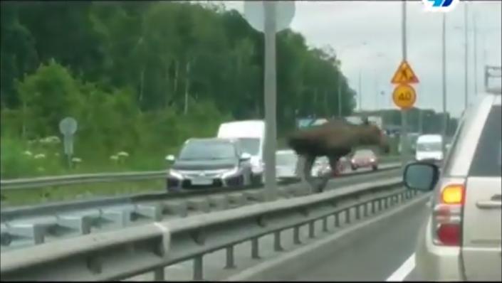 Лось напугал водителей на Колтушском шоссе (видео)
