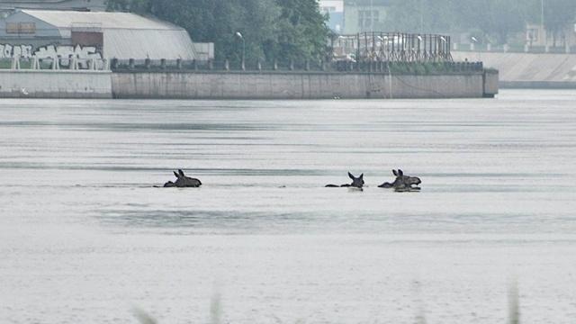 Лоси устроили миграционный заплыв по Неве