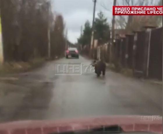 Под Петербургом по дороге гуляет медвежонок (видео)