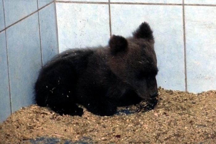 Обессиленный медвежонок несколько дней искал помощь в деревне Ленобласти