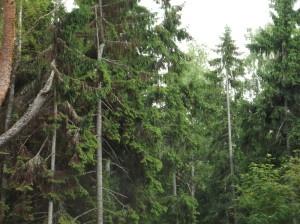 По иску Всеволожского городского прокурора на гражданина возложена обязанность освободить от построек земельный участок лесного фонда