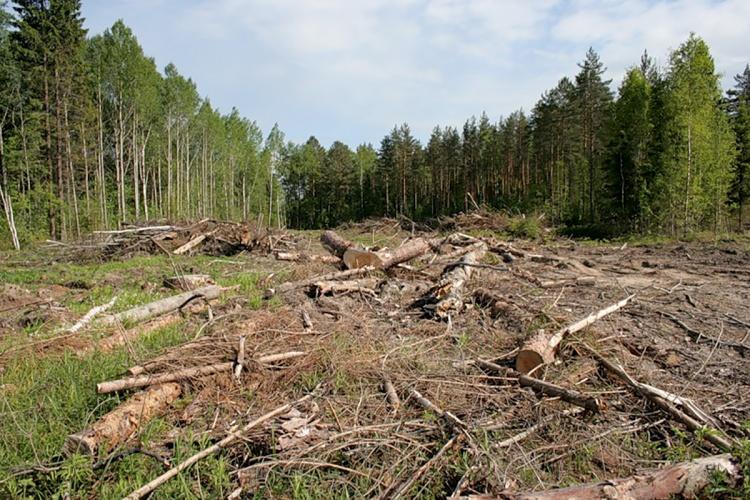 В Токсово состоится митинг против вырубки леса