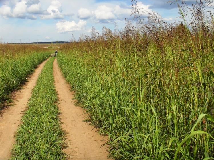 Колтушские гектары закочкорились и заросли