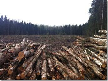 Под Петербургом уничтожается лесной массив