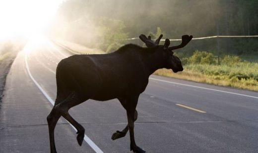 Частые ДТП с лосями под Петербургом объяснили брачным периодом у зверей