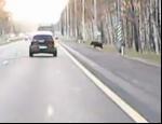 На Мурманском шоссе легковушка сбила кабана, выскочившего из леса на дорогу