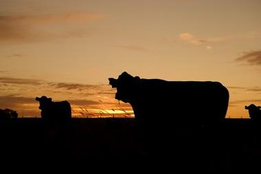 На аукционе в Ленобласти купили племенную корову за четверть миллиона рублей