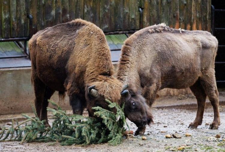 Ёлки, палки, 5 бизонов